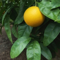 Pomarańcza chińska