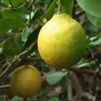 Citrus x limon 'Ponderosa'
