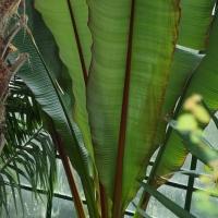 Bananowiec abisyński