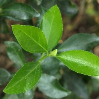 Euonymus japonicus
