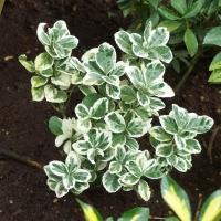 Trzmielina japońska 'Albomarginatus'