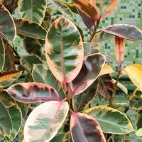 Ficus elastica 'Tricolor'