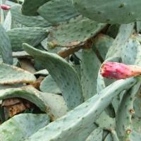 Opuntia robusta