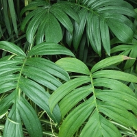Philodendron elegans