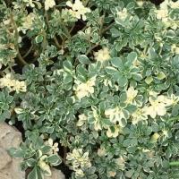 Aeonium lindleyii 'Variegata'