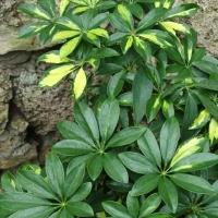 157.Schefflera arboricola Variegata